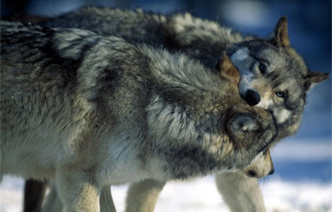 Two-wolves-fight-play-513237_14026_470x300